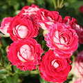 Le rosier 'Anne Roumanoff'