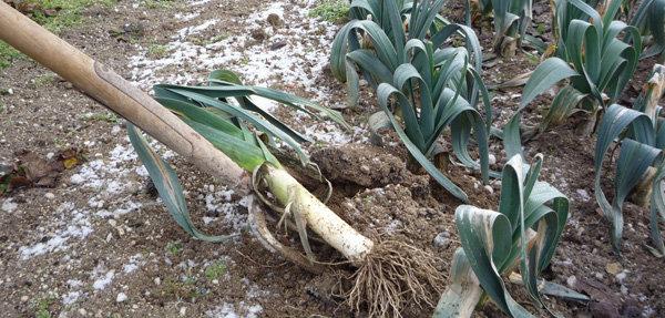 Que faire au potager en f vrier - Planter en fevrier ...