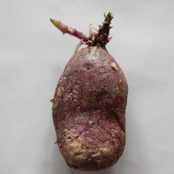 Patates comment r ussir la germination - Faire germer des pommes de terre ...