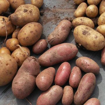 Les vari t s de pommes de terre - Variete pomme de terre rouge ...
