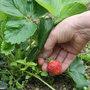 La récolte des fraises