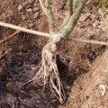 La plantation d'un rosier à racines nues