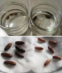 haricots comment r ussir la germination des graines. Black Bedroom Furniture Sets. Home Design Ideas