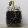 Faire germer des graines de haricots