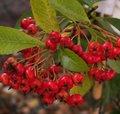 Top 15 des arbustes à baies décoratives