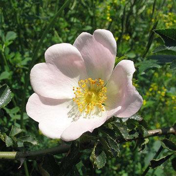 Calendrier de taille des rosiers - Quand tailler les rosiers buisson ...