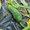 Tuteurer les cornichons et concombres