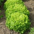 Semer les salades de printemps