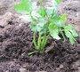 Planter les céleris-raves
