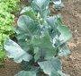Semer au printemps les légumes pour l'hiver