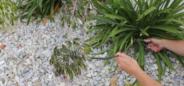 Que les agapanthes soient cultivées en pleine terre ou bien en pot, il est  préférable de tailler ces belles originaires d\u0027Afrique du Sud.