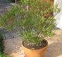 Hiverner le laurier-rose en pot pour affronter l'hiver