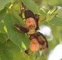 Le brou de noix