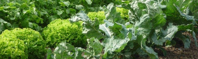 Feuilles craquantes de salades tout l'hiver