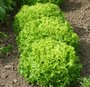 Semer les salades d'hiver