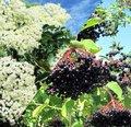 Sureau, un arbre aux utilisations insoupçonnées