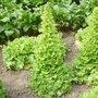 La récolte de graines de légumes et condimentaires au jardin
