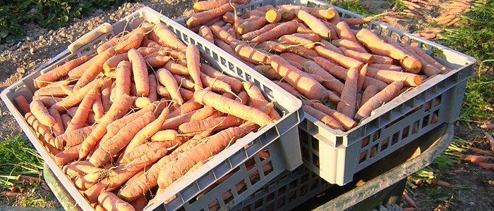 De belles récoltes de carottes