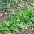 Semer et planter en hiver les légumes pour le printemps