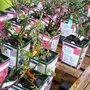 En conteneur, à racines nues ou avec motte, quel conditionnement de rosier acheter ?