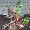 Plantation de la rhubarbe