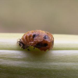 Métamorphose de la larve
