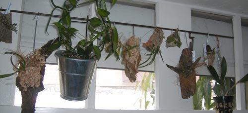 plantes piphytes les racines a riennes des orchid es. Black Bedroom Furniture Sets. Home Design Ideas
