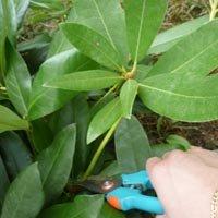 Prendre une tige de rhododendron