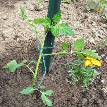 Planter les tomates - Distance entre pied de tomate ...
