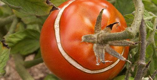 Tomates lutter naturellement contre les maladies - Maladie pied de tomate ...