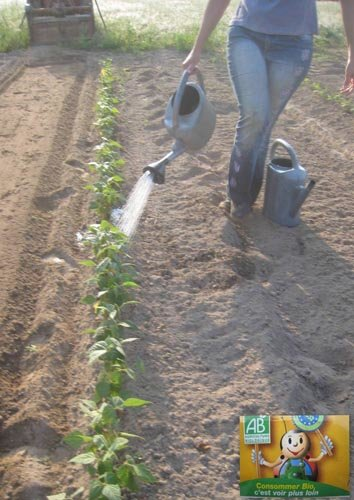 Comment bien semer les haricots en pleine terre - Arrosage gazon apres semis ...