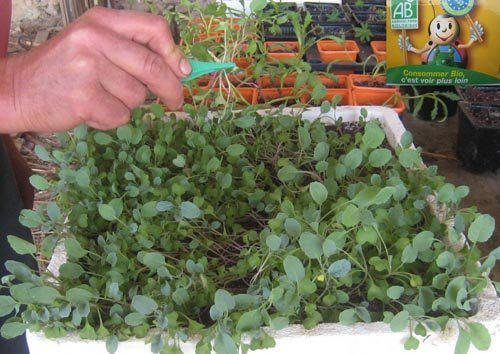 Comment bien semer les choux - Arrosage gazon apres semis ...