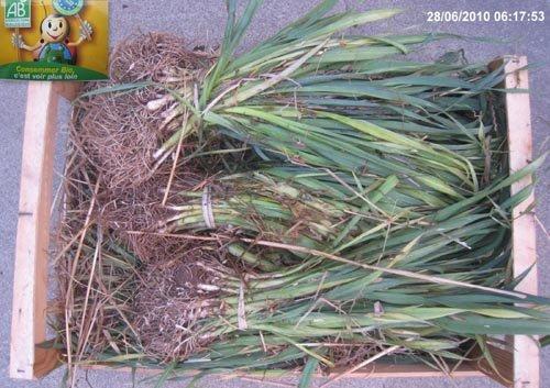 Planter les poireaux - Plants de poireaux a repiquer ...