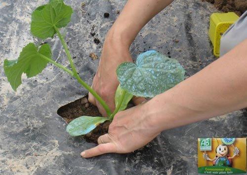 Melon comment le cultiver - Culture du cresson de jardin ...