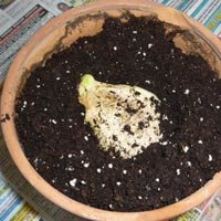 Plantation du noyau :