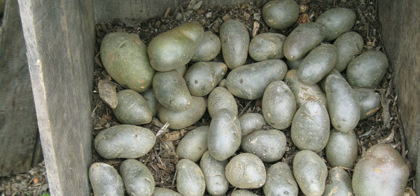 les pommes de terre qui verdissent après la récolte : est-ce normal ?