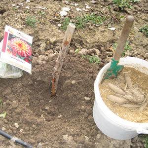 Planter les dahlias en pleine terre