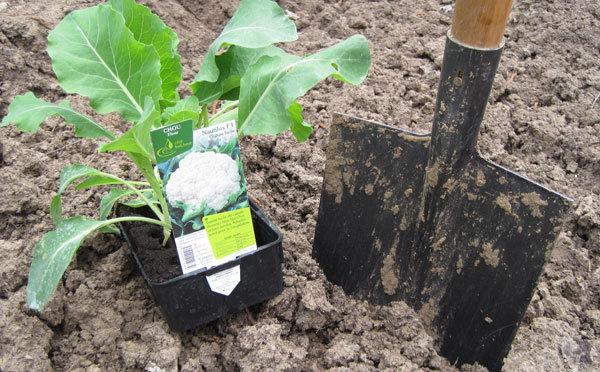 Planter les choux fleurs - Quand planter des choux ...