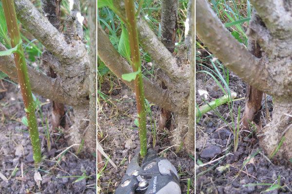 Les drageons sur les arbustes - Quand tailler un forsythia ...