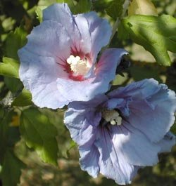 Comment tailler les hibiscus syriacus althea for Quand tailler les hibiscus de jardin
