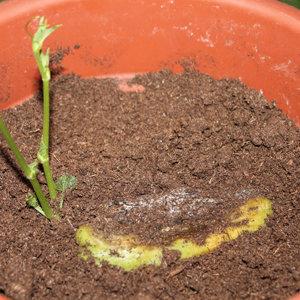 Planter une chayotte - Quand planter les courgettes en pleine terre ...