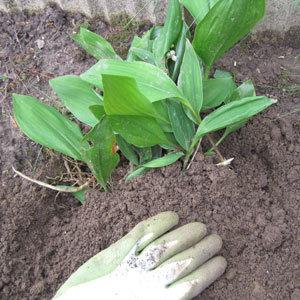 planter le muguet convallaria majalis dans le jardin. Black Bedroom Furniture Sets. Home Design Ideas