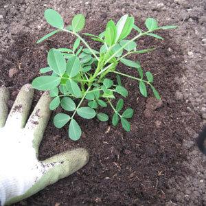Planter des cacahuètes