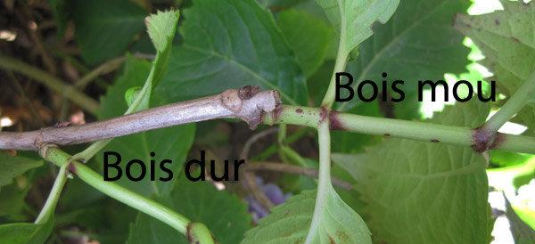 Chene Bois Dur Ou Tendre : Multiplier les plantes avec des boutures ao?t?es ou semi-ao?t?es