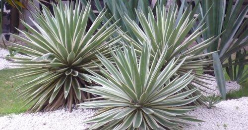 plantes résistantes au manque d'eau