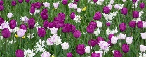 Bulbes planter pour le printemps - Planter des tulipes en mars ...