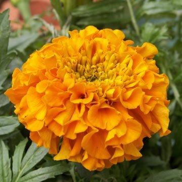 Fleurs et jardin d 39 ornement for Jardin ornement fleurs