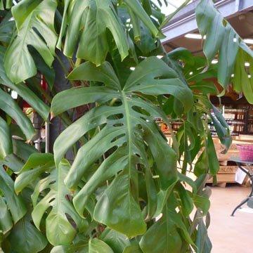 Plantes d 39 int rieur for Plante interieur exotique