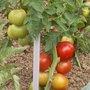 Légumes et potager