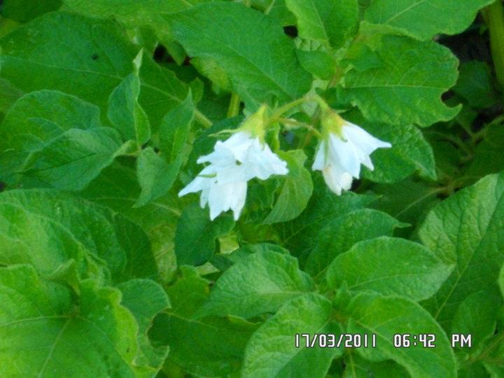 1ère fleurs